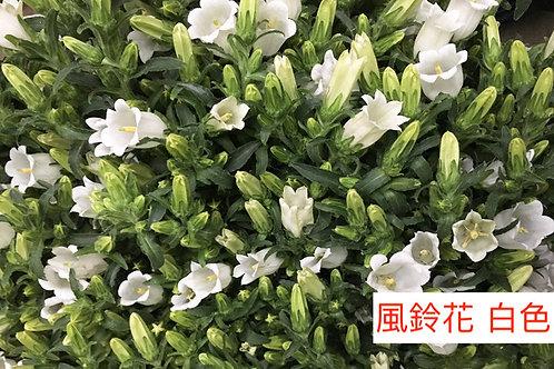 風鈴花 白色  5-8枝