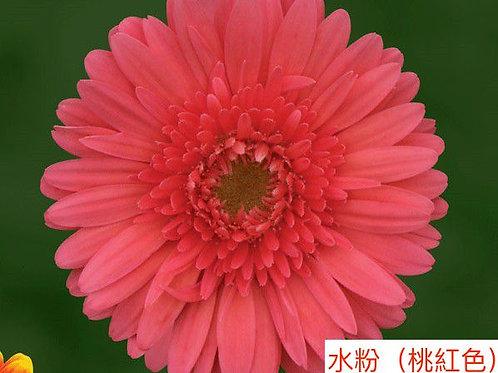 非洲菊  水粉(桃紅色) 產地昆明 8枝送2枝共10枝