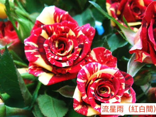 多頭小玫瑰 流星雨(紅白間)產地昆明 8枝送2枝共10枝