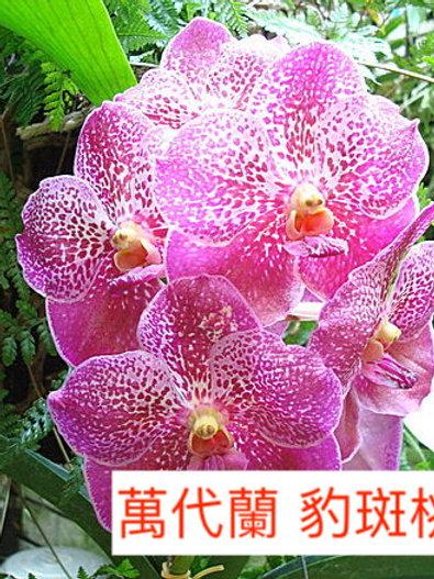 萬代蘭 豹斑桃色 產地台灣 1枝