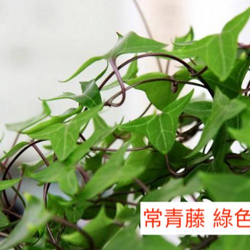 常春藤  綠色 8枝送2枝