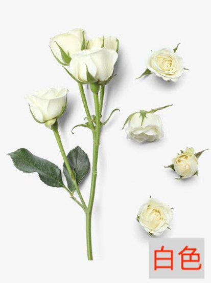 多頭小玫瑰 白色 產地昆明 8枝送2枝共10枝