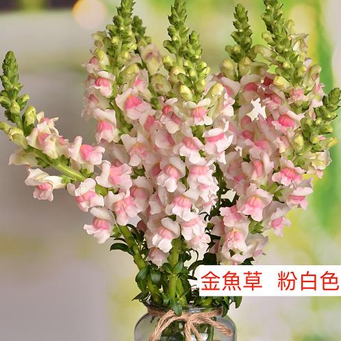 金魚草 粉白色 產地昆明 8枝送2枝