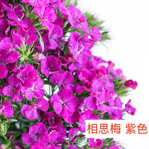 相思梅(美女櫻) 紫色 產地昆明 10-20枝