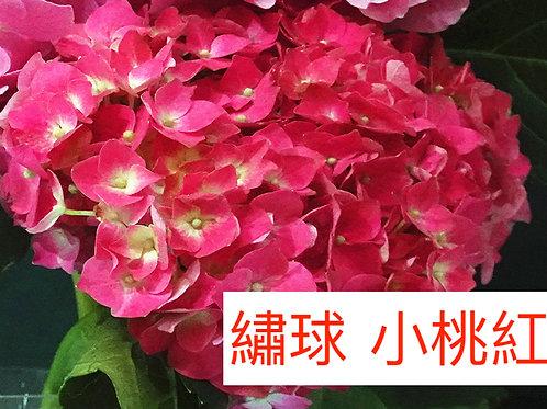 繡球 小桃紅 產地昆明 一個