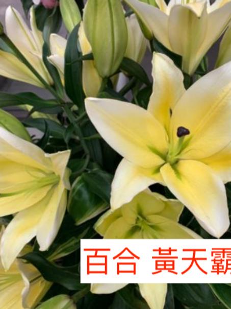 單頭百合 黃天霸 黃色 產地廣州 8枝送2枝
