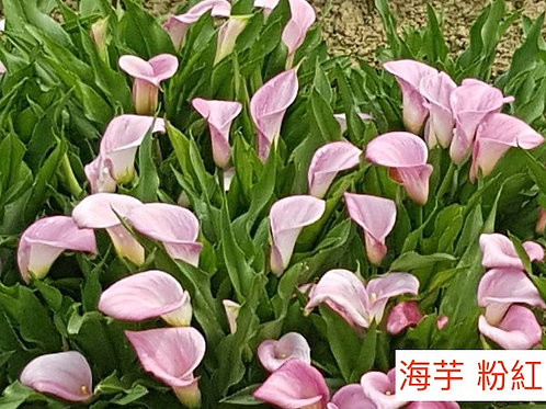 海芋 粉紅色 產地台灣 8枝送2枝