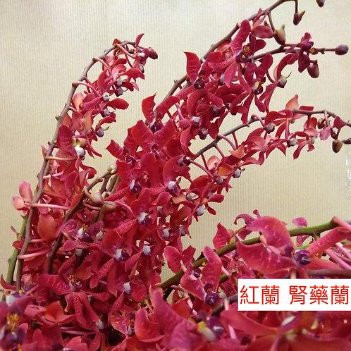 紅蘭 腎藥蘭 產地台灣 8枝送2枝