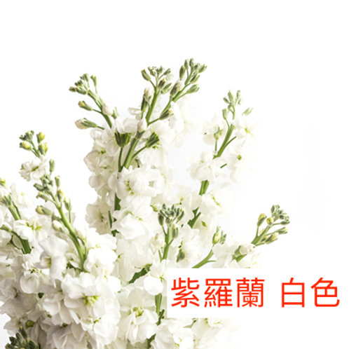 紫羅蘭(麝香花) 白色 產地昆明 8枝送2枝