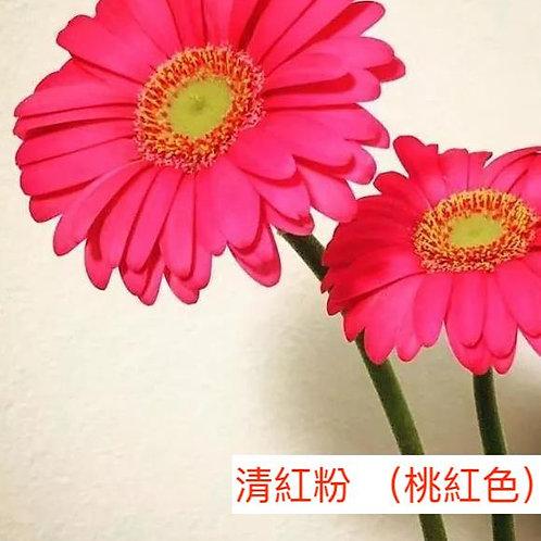 非洲菊  清紅粉 (桃紅色)產地昆明 8枝送2枝共10枝