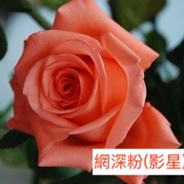 玫瑰 網深粉 影星 產地昆明 18枝送2枝共20枝