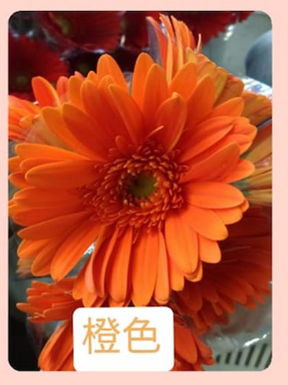 非洲菊  橙色 產地台灣 8枝送2枝共10枝