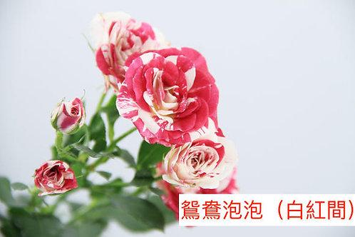 多頭小玫瑰 鴛鴦泡泡(白紅間)產地昆明 8枝送2枝共10枝