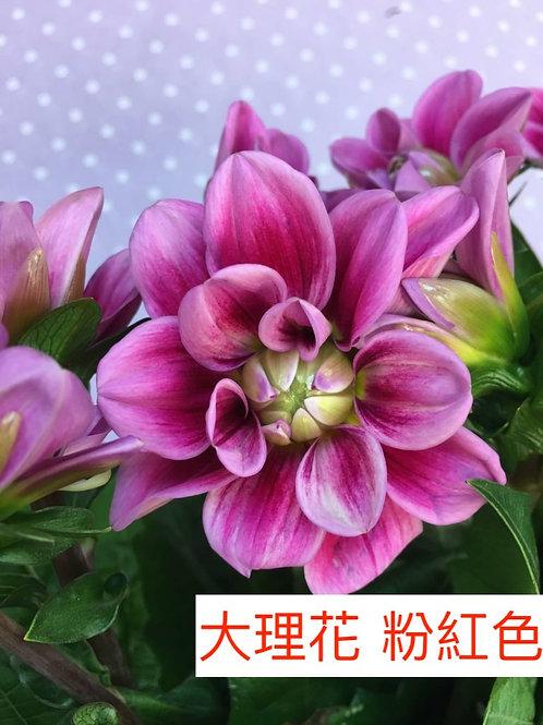 大理花 粉紅色 產地台灣 8枝送2枝