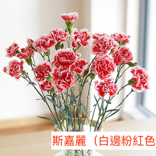 多頭康乃馨 (小丁)斯嘉麗(白邊粉紅色)產地昆明 18枝送2枝共20枝