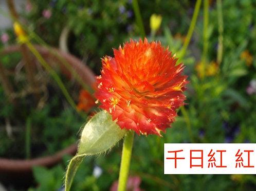 千日紅 紅色  15-20枝
