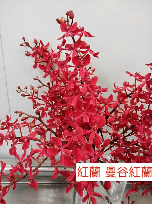 紅蘭 曼谷紅蘭 產地台灣 8枝送2枝