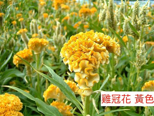 雞冠花 黃色 產地台灣 8枝送2枝