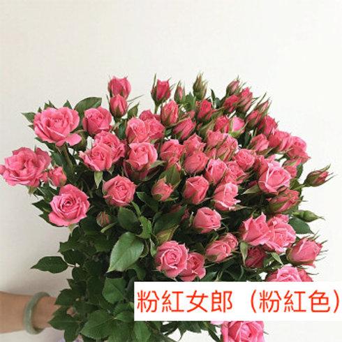 多頭小玫瑰 粉紅女郎(粉紅色) 產地昆明 8枝送2枝共10枝