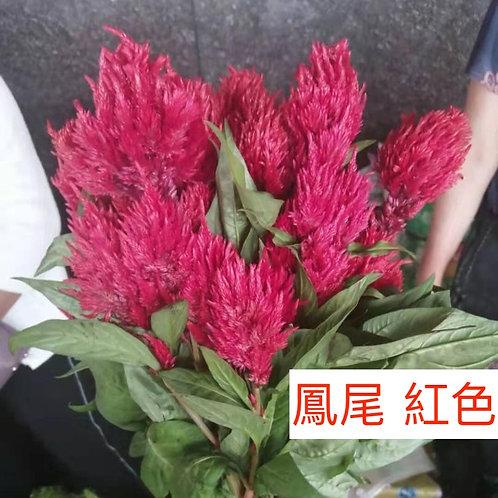 鳳尾 紅色 產地昆明 8枝送2枝