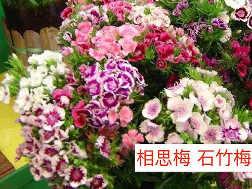 相思梅(美女櫻) 石竹梅 產地昆明 10-20枝