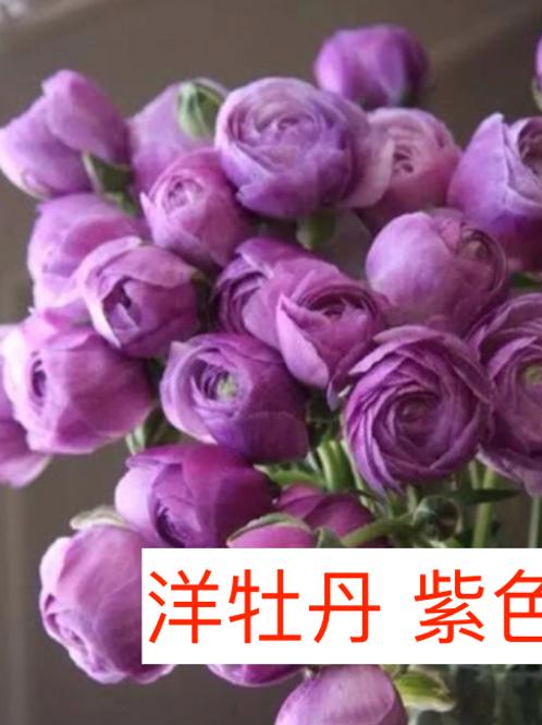 洋牡丹 紫色 產地昆明 8枝送2枝
