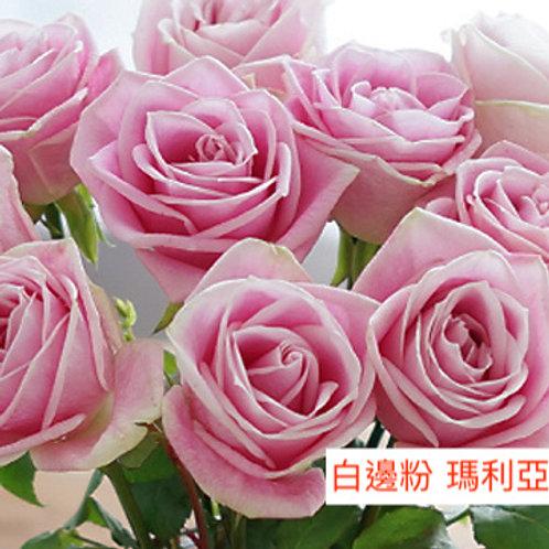 玫瑰 白邊粉 瑪利亞 產地昆明 18枝送2枝共20枝
