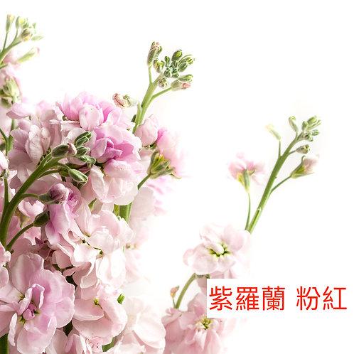 紫羅蘭(麝香花)粉紅色 產地昆明 8枝送2枝
