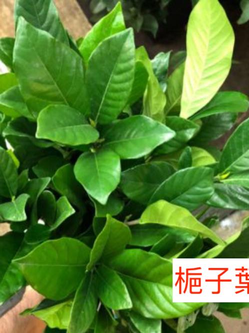 梔子葉(枝子葉) 10-15枝