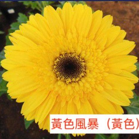 非洲菊  黃色風暴(黃色)產地昆明 8枝送2枝共10枝