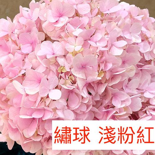 繡球 淺粉紅色 產地昆明 一個