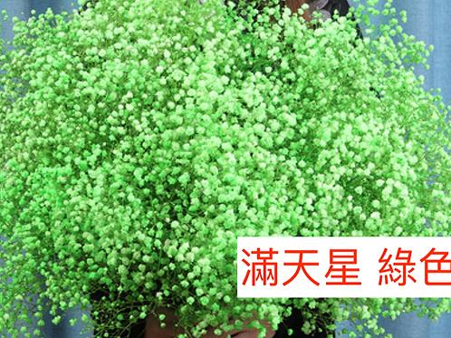 滿天星 綠色 產地昆明 1KG
