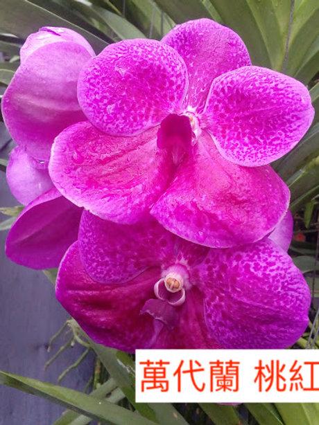 萬代蘭 桃紅色 產地台灣 1枝