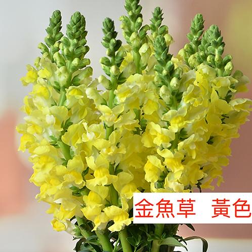 金魚草 黃色 產地昆明 8枝送2枝