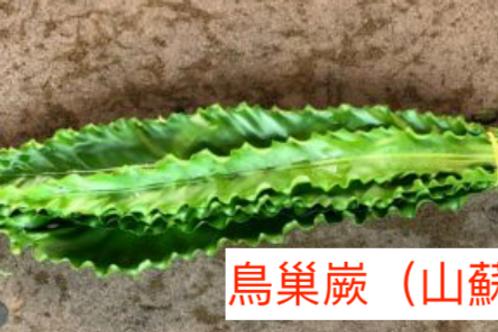 鳥巢嶡(山蘇)產地台灣 7片