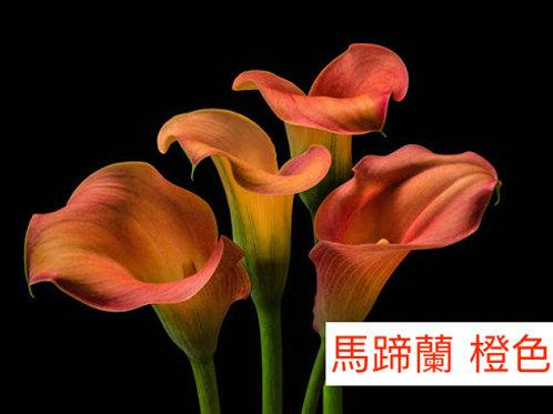 馬蹄蘭 橙色 產地昆明 8枝送2枝