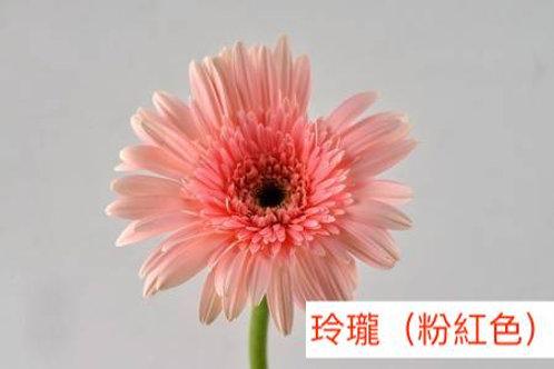 非洲菊  玲瓏(粉紅色)產地昆明 8枝送2枝共10枝