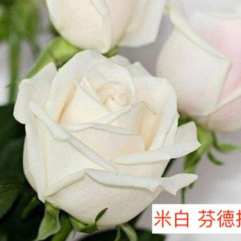 玫瑰 米白 芬德拉 產地昆明 18枝送2枝共20枝