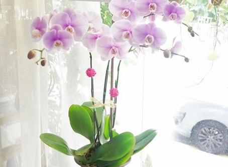 蘭花盆栽 Orchid by Fasunflower