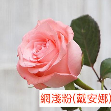 玫瑰 網淺粉 戴安娜 產地昆明 18枝送2枝共20枝