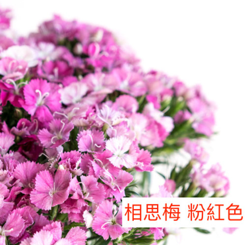 相思梅(美女櫻) 粉紅色 產地昆明 10-20枝