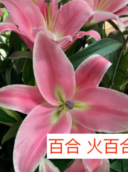 單頭百合 火百合 粉紅色 產地廣州 8枝送2枝