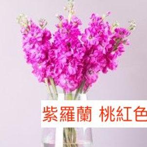 紫羅蘭(麝香花)桃紅色 產地昆明 8枝送2枝
