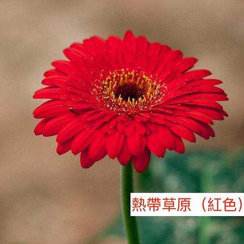 非洲菊  熱帶草原(紅色) 產地昆明 8枝送2枝共10枝