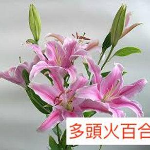 多頭百合 火百合 粉紅色 產地廣州 5枝