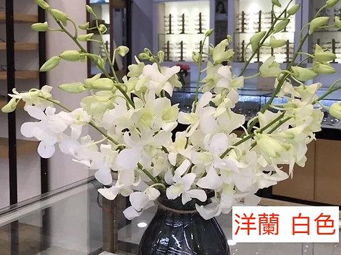 洋蘭 白色 產地昆明 8枝送2枝共10枝