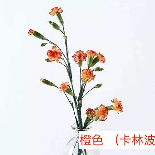 多頭康乃馨 (小丁)橙色 (卡林波) 產地昆明 18枝送2枝共20枝