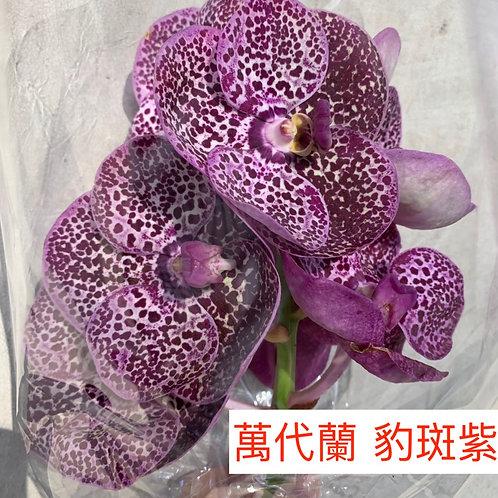 萬代蘭 豹斑紫色 產地台灣 1枝