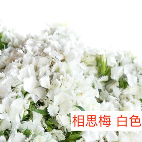 相思梅(美女櫻) 白色 產地昆明 10-20枝