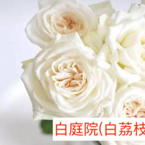 玫瑰 白庭院 白荔枝 產地昆明 18枝送2枝共20枝